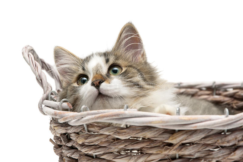 Fluffy kitten lying in a basket on a white background stock image