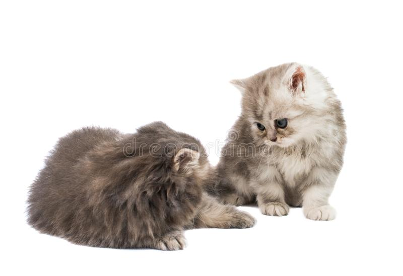 Fluffy kittens isolated. On white background royalty free stock photo