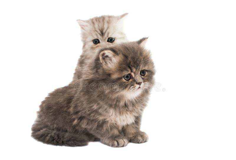 Fluffy kittens isolated. On white background stock photo