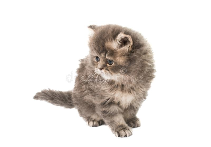 Fluffy kittens isolated. On white background royalty free stock images