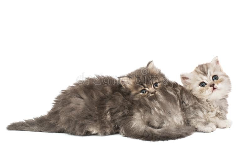 Fluffy kittens isolated. On white background royalty free stock image