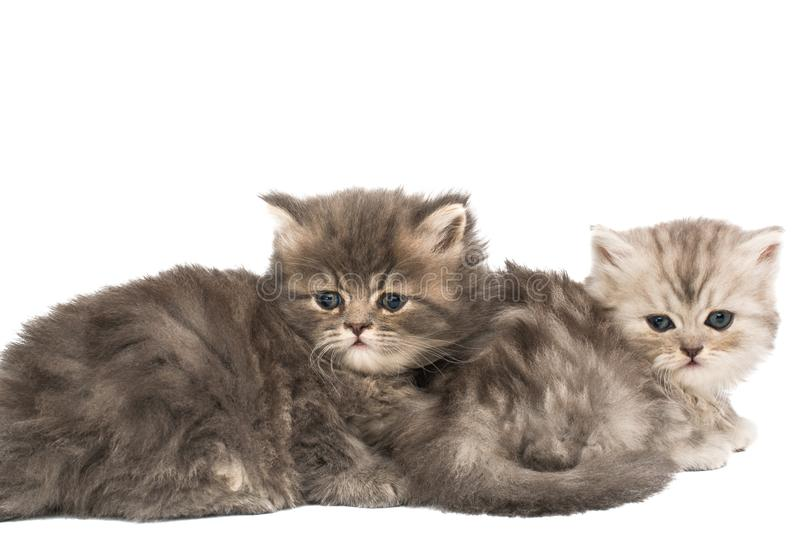 Fluffy kittens isolated. On white background stock image