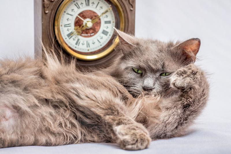 A fluffy lazy cat lies near the clock. It`s time to get up and g. O to work stock images