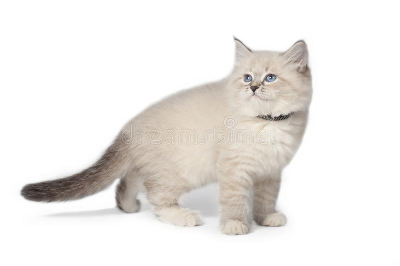 Fluffy little Cat on white background. Fluffy little cat, Neva masquerade, walks on a white background. Cat on white background. side view. In profile royalty free stock photos