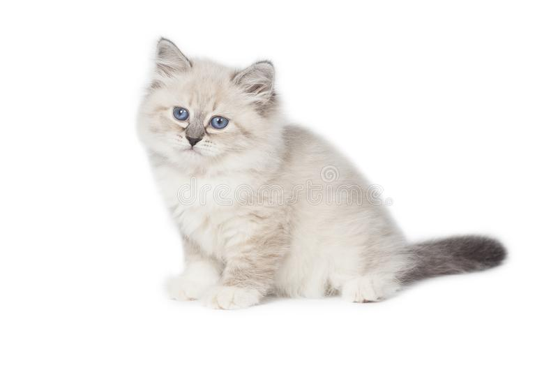 Fluffy little Cat on white background. Fluffy little cat , Neva masquerade, on a white background royalty free stock photography