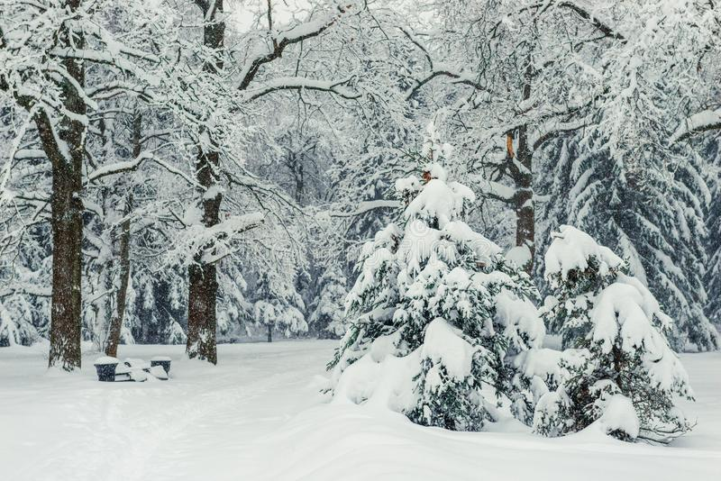 Fluffy little fir trees in the winter park, covered with snow, beautiful nature royalty free stock photography