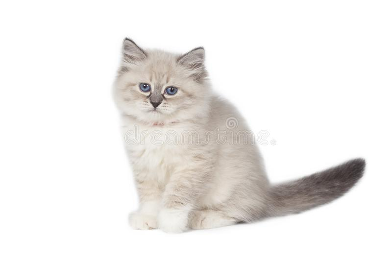 Funny cute kitten sitting on a white background royalty free stock photography