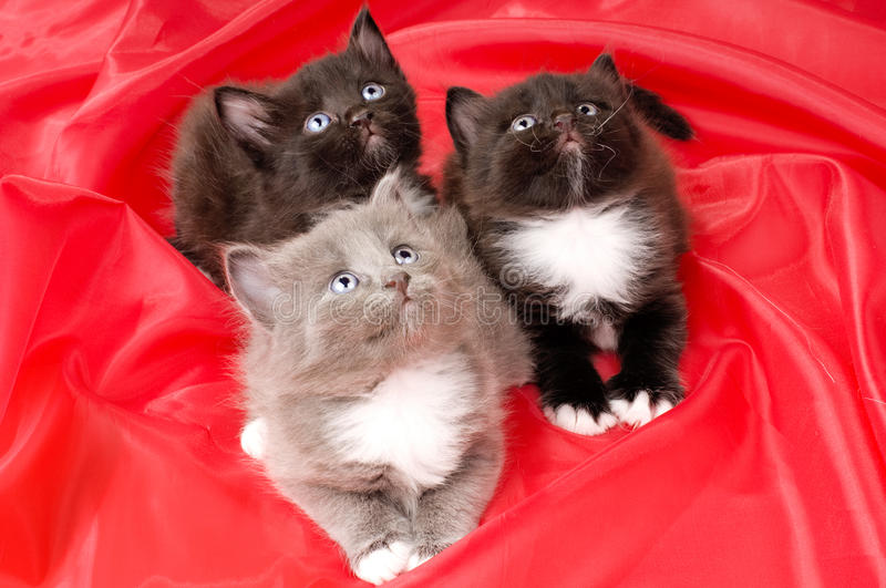 Fluffy little kittens. Two black and one gray beautiful fluffy little kittens, on red background cloth stock image
