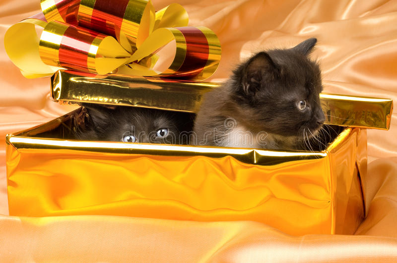 Fluffy little kittens. Two beautiful fluffy little kittens,in gold box-gift on gold background-cloth royalty free stock photos