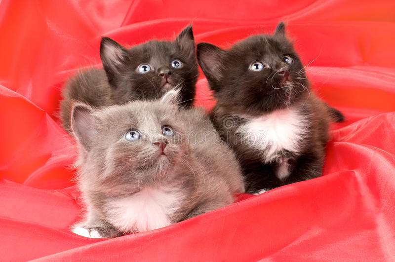 Fluffy little kittens. Two black and one gray beautiful fluffy little kittens, on red background cloth royalty free stock photography
