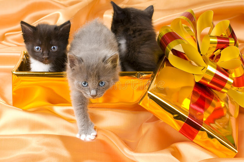 Fluffy little kittens. Three beautiful fluffy little kittens,in gold box-gift on gold background-cloth stock photography