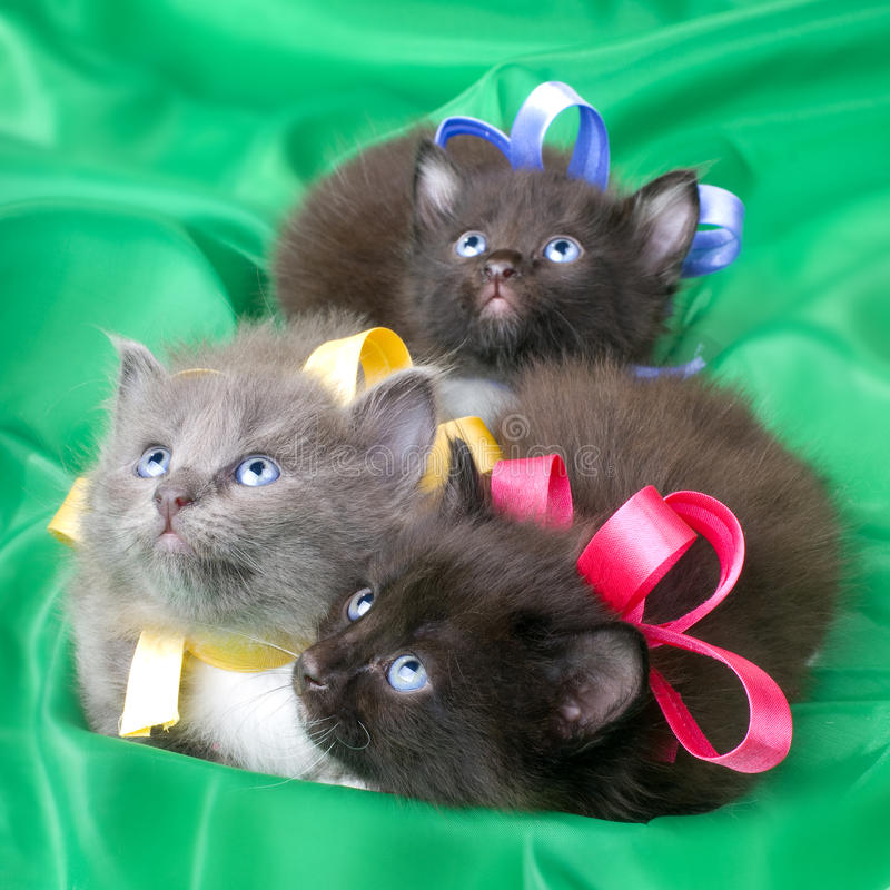 Fluffy little kittens. Two black and one gray beautiful fluffy little kittens, on green background cloth royalty free stock photo