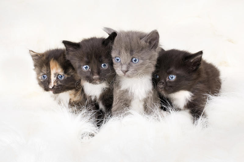 Fluffy little kittens. Four beautiful fluffy little kittens, sits on white fur background royalty free stock photography