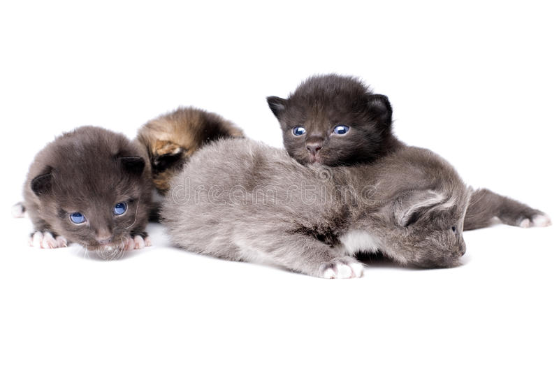 Fluffy little kittens. Four beautiful fluffy little kittens, lie on white background, isolated royalty free stock photography