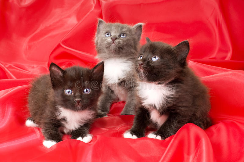 Fluffy little kittens. Two black and one gray beautiful fluffy little kittens, on red background cloth royalty free stock images