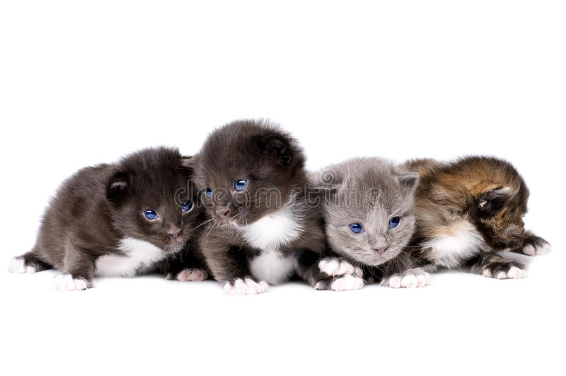 Fluffy little kittens. Four beautiful fluffy little kittens, lie on white background, isolated stock photos