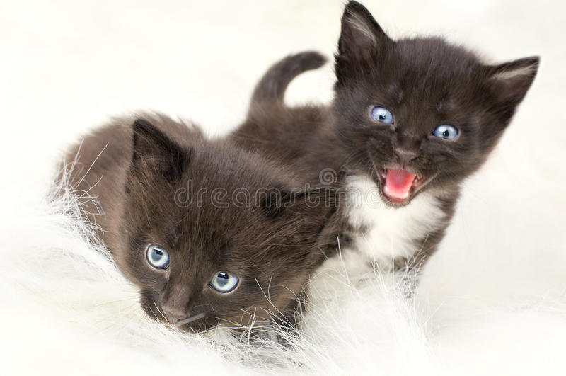 Fluffy little kittens. Two black beautiful fluffy little kittens, onwhite fur, yell royalty free stock image