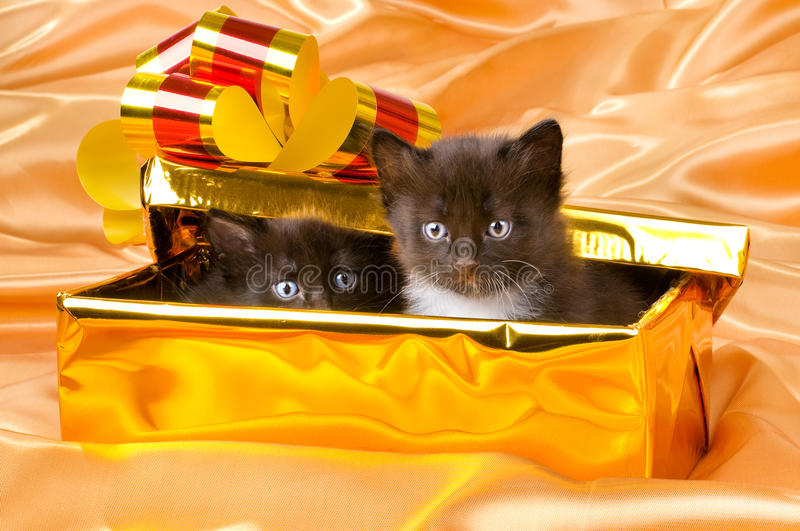 Fluffy little kittens. Two beautiful fluffy little kittens,in gold box-gift on gold background-cloth stock photo