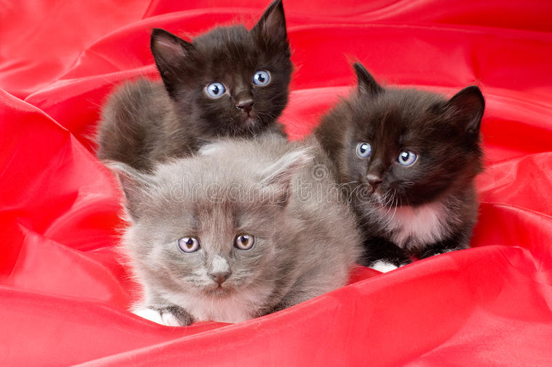 Fluffy little kittens. Two black and one gray beautiful fluffy little kittens, on red background cloth royalty free stock image