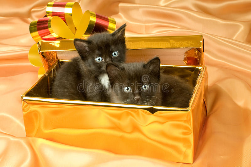 Fluffy little kittens. Two beautiful fluffy little kittens,in gold box-gift on gold background-cloth stock image