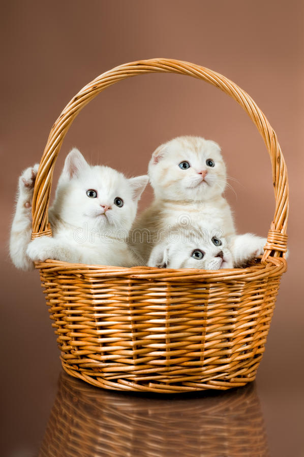 Fluffy little kittens. Group of white beautiful fluffy little kittens, in basket on brown background stock photos