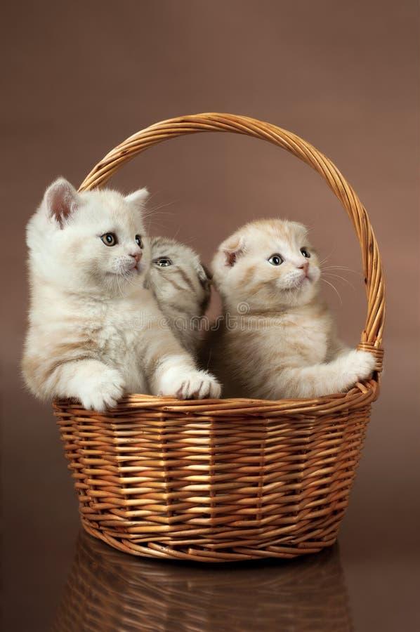 Fluffy little kittens. Group of white beautiful fluffy little kittens, in basket on brown background stock image