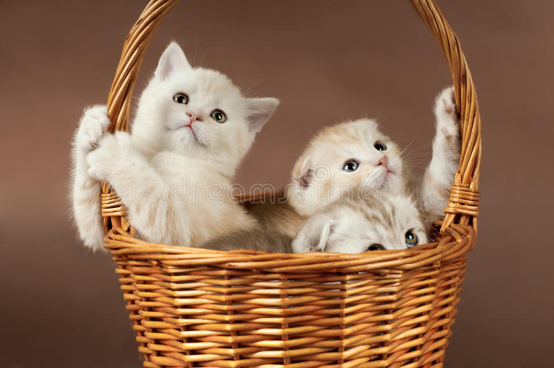 Fluffy little kittens. Group of white beautiful fluffy little kittens, in basket on brown background stock images