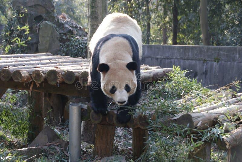 Giant Panda , Shuang Hao, in Hangzhou, China stock photos