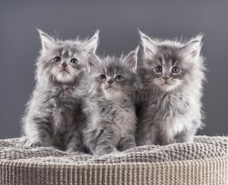 Maine Coon kitten. Fluffy Maine Coon kittens on the couch over black background stock photo