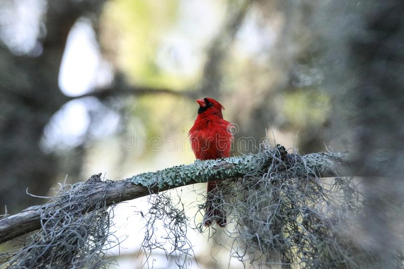 Fluffy Male red Northern cardinal bird Cardinalis cardinalis perches on a tree. In Naples, Florida stock photo