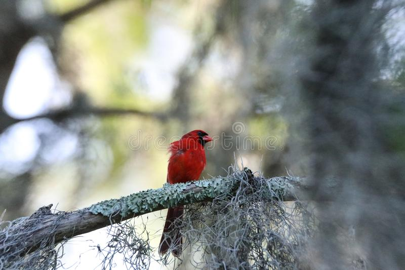 Fluffy Male red Northern cardinal bird Cardinalis cardinalis perches on a tree. In Naples, Florida royalty free stock images