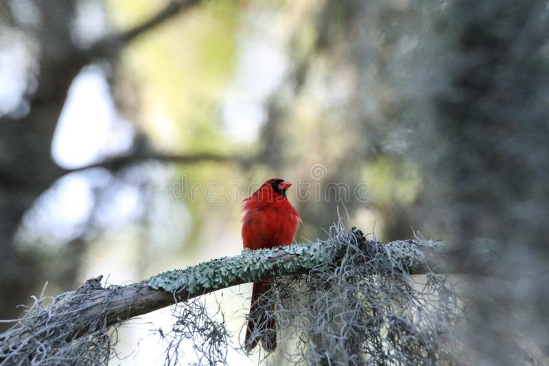 Fluffy Male red Northern cardinal bird Cardinalis cardinalis perches on a tree. In Naples, Florida stock photography