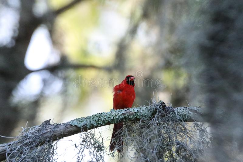 Fluffy Male red Northern cardinal bird Cardinalis cardinalis perches on a tree. In Naples, Florida royalty free stock photos