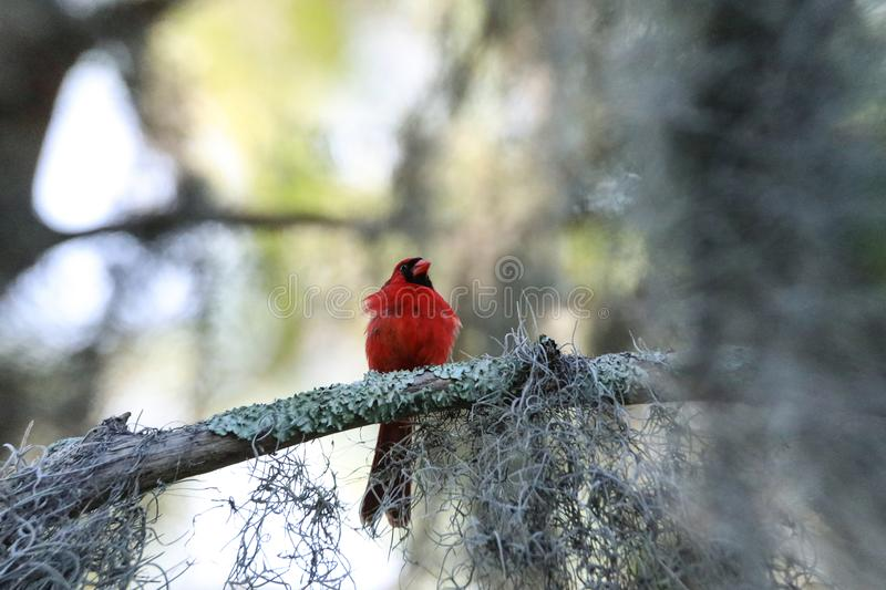 Fluffy Male red Northern cardinal bird Cardinalis cardinalis perches on a tree. In Naples, Florida royalty free stock photo