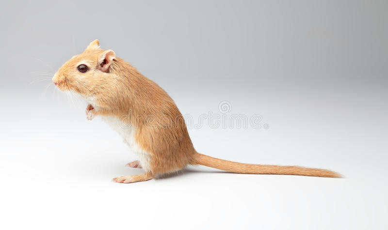 Download Fluffy mouse stock image. Image of single, fluffy, gray - 26302385