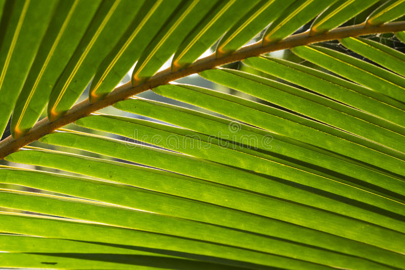 Fluffy palm leaf photo background. Green palm leaf in sunlight. Sunny day exotic nature wallpaper. Tropical island summer. Vacation in tropic banner template stock photo