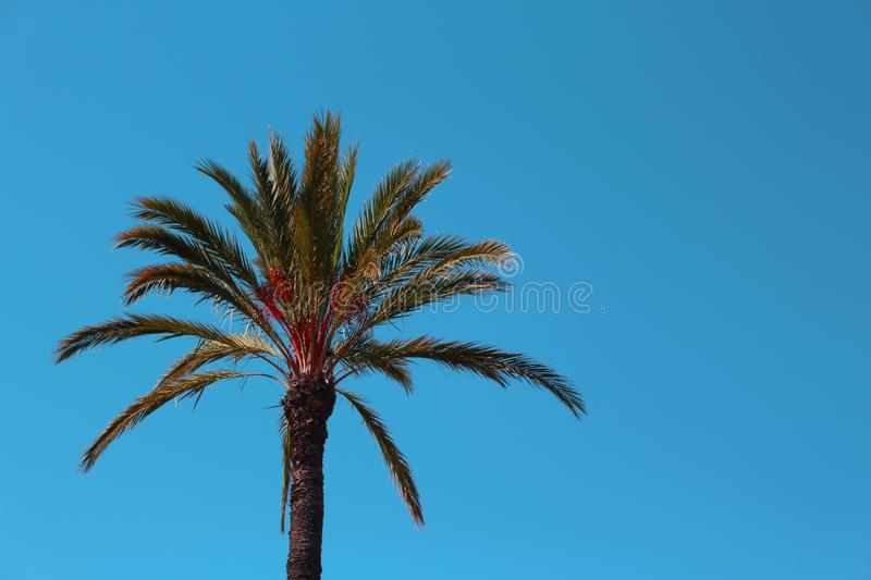 Fluffy Palm Tree and Calm Blue Sky stock photo