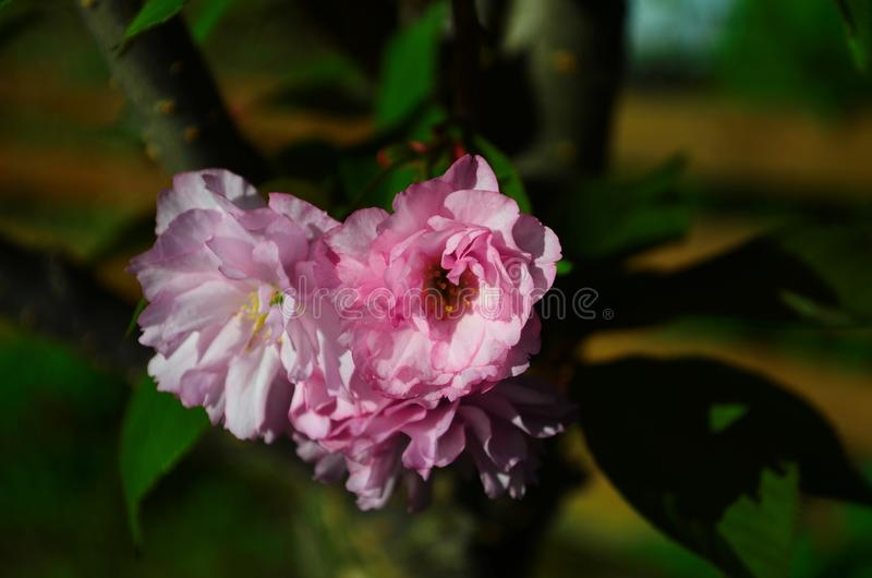 Fluffy pink cherry blossom flowers on branches on the tree royalty free stock photo
