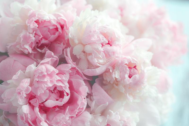 Fluffy pink peonies flowers. Background stock image