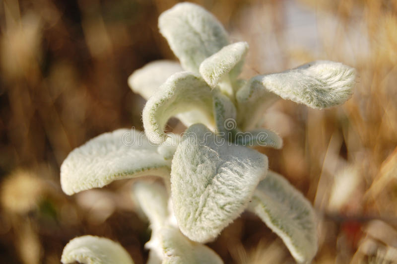 Fluffy plant royalty free stock photography