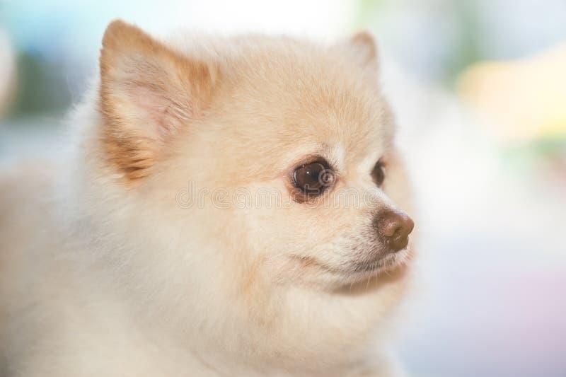 Fantastic Fluffy Canine Adorable Dog - fluffy-pom-pomeranian-cute-dog-small-pet-friendly-94277788  2018_155028  .jpg