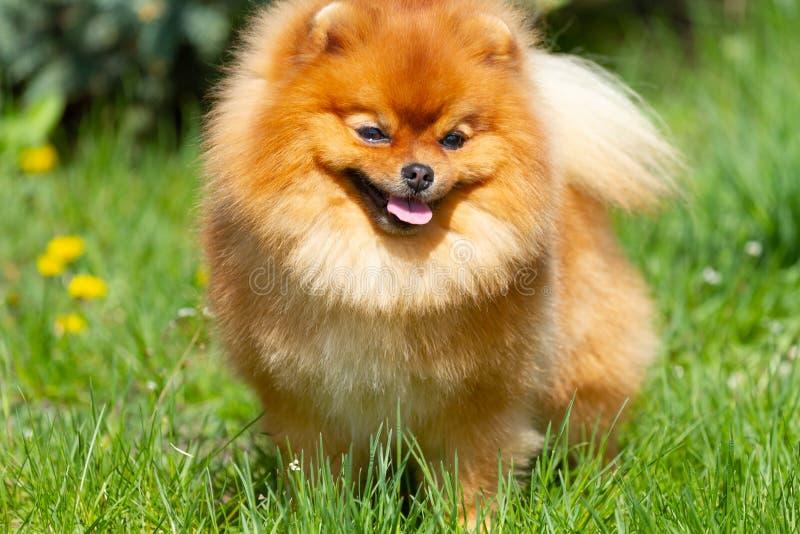 Fluffy Pomeranian dog on the green grass. Fluffy Pomeranian dog stands on a beautiful green grass stock photo