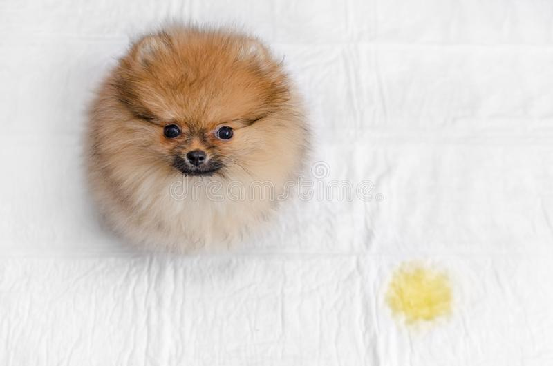 Fluffy pomeranian puppy and urine puddle, view from above. Fluffy pomeranian puppy and urine puddle, top view royalty free stock images