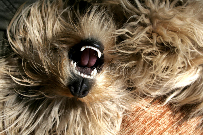 fluffy psa fotografia stock