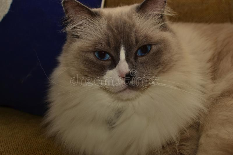 White and grey ragdoll cat with bright blue eyes. A fluffy puffy white and grey ragdoll cat with bright blue eyes stock photos