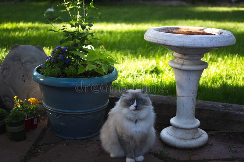 White and grey ragdoll cat with bright blue eyes. A fluffy puffy white and grey ragdoll cat with bright blue eyes stock image