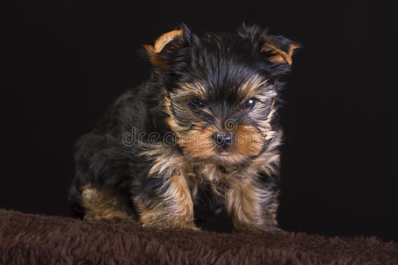 Fluffy puppy. A fluffy puppy terrier against a black background royalty free stock image