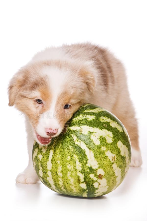 Fluffy puppy and watermelon. Isolated on white stock photography