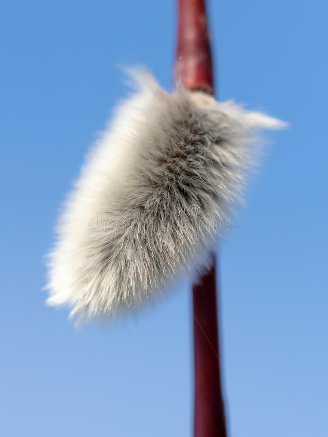 Fluffy willow against the blue sky.  royalty free stock photography