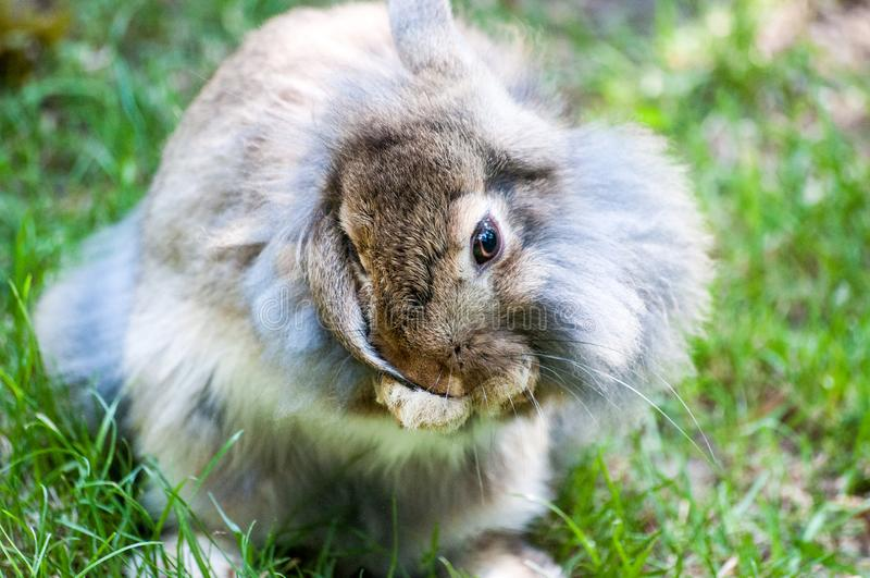 Domestic beige rabbit with fluffy fur cleaning his ear, at the zoological garden royalty free stock image